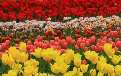 Tranquil Tulips image