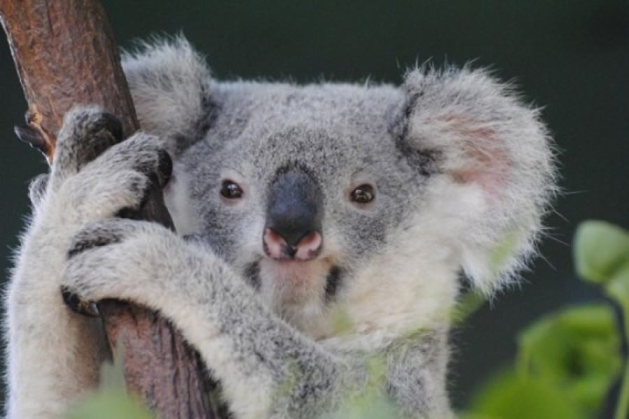 koala, close-up, hugging, tree